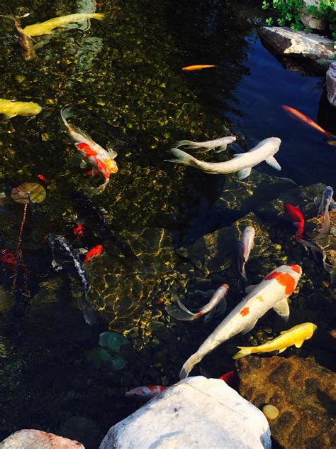 backyard pond care fish care for your backyard pond koi goldfish etc pond