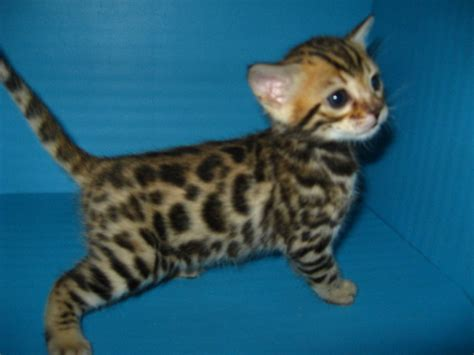 Baby Bengal Kitten Prices | baby savannah cats most beautiful