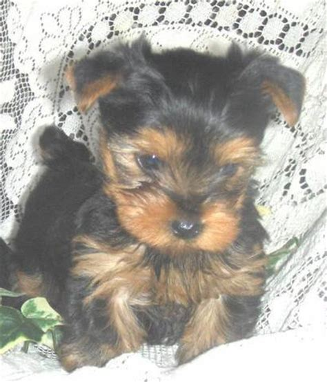 yorkies for adoption in tx yorkie poo puppies for sale ontario breeds picture
