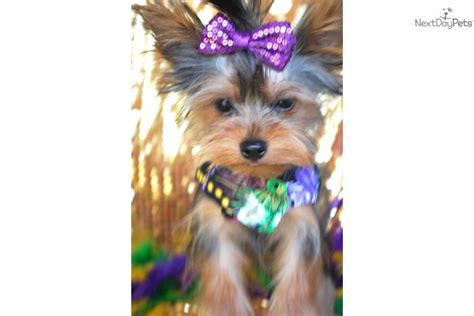yorkies for sale in mississippi terrier yorkie puppy for sale near gulfport biloxi mississippi