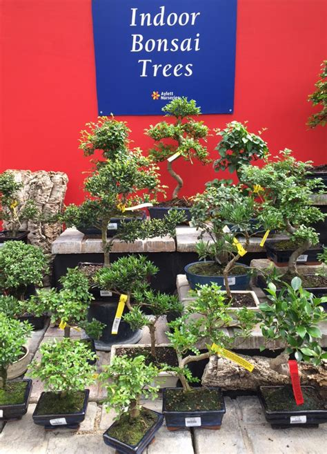 indoor bonsai trees aylett nurseries visit ayletts