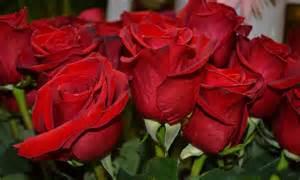rosas rojas pin by matilde komjetan on flores saludos mensajes y