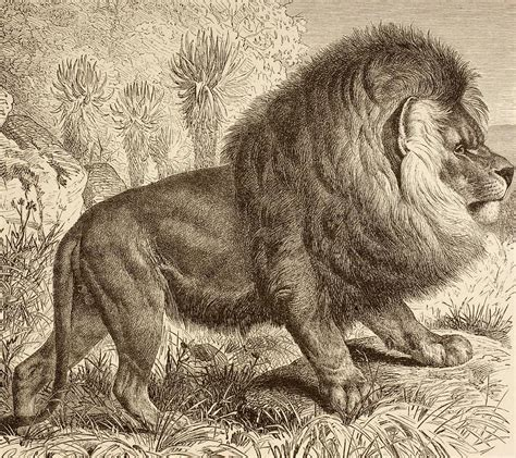 Lion Decor Home The Cape Lion Now Extinct From La Photograph By Ken Welsh