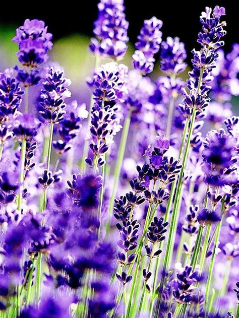 33 best images about lavender aloe vera on pinterest