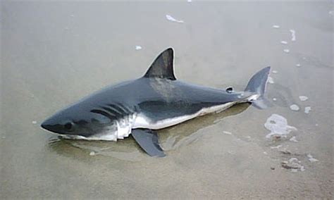 baby shark real drum baby great white sharks baby great white shark marine