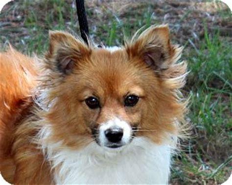 corgi pomeranian mix puppies tippy adopted west milford nj pomeranian corgi mix