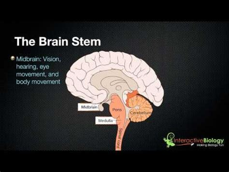3 sections of the brain the 3 parts of the brain stem and their functions ted ed