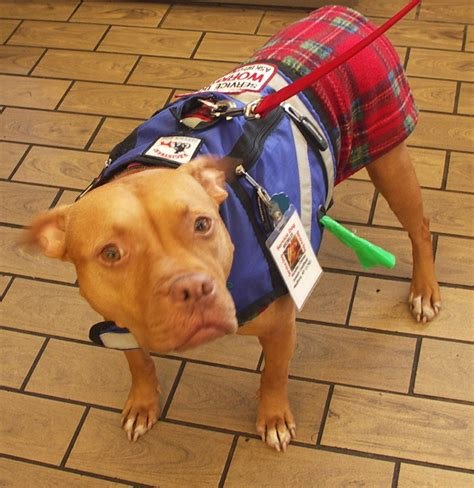 can pitbulls be service dogs pit bulls at therapy and service dogs lipetplace