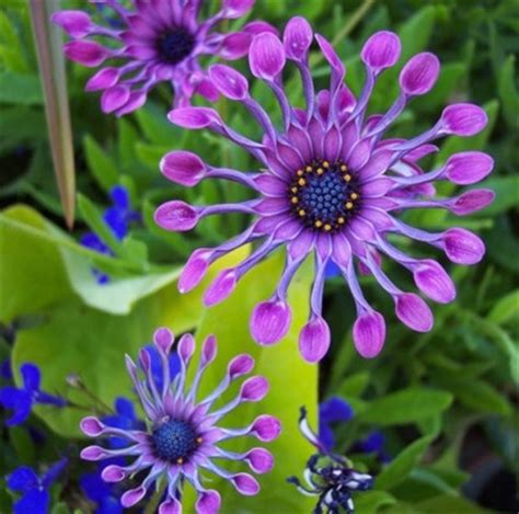 african daisy osteospermum are great for bedding in gardens mostly annual there are at least
