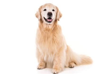 Golden Retriever Breed Information