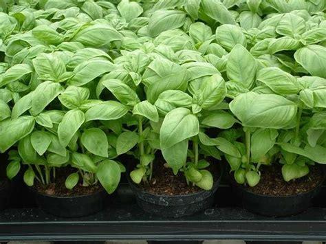 concime per basilico in vaso piante per orto ortaggi piante per l orto