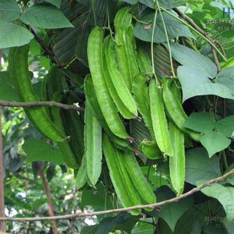 Tropical Climbing Plant - australian seed winged bean