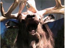 The Giant Deer, Megaloceros giganteus - YouTube Irish Elk