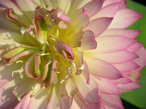 fiore di loto significato buddista simbologia fior di loto