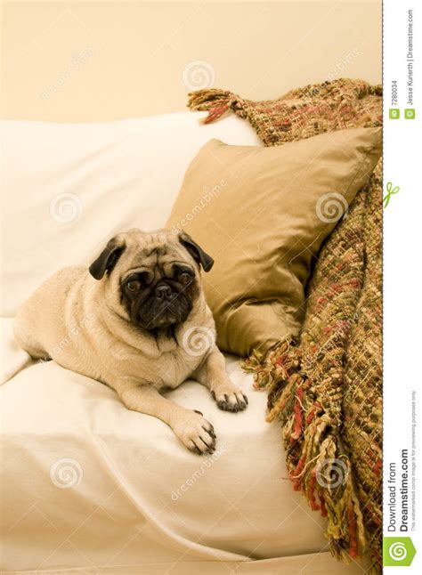 pug couch cute pug on couch stock images image 7280034
