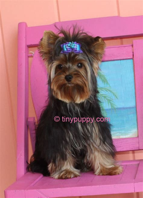teacup yorkie haircuts pictures teacup yorkie terrier haircuts haircuts models ideas