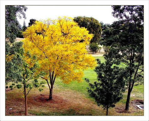 yellow jacaranda a photo on flickriver
