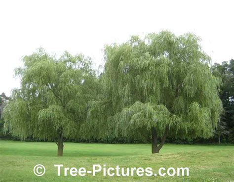 tree types willow tree pictures images photos of willows