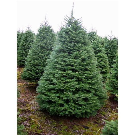 noble fir tree rudys christmas trees