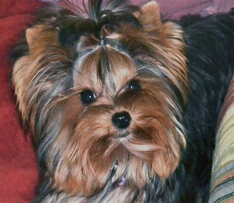 teacup yorkie for sale in nashville tn best 20 parti yorkies for sale ideas on yorkie dogs for sale dogs
