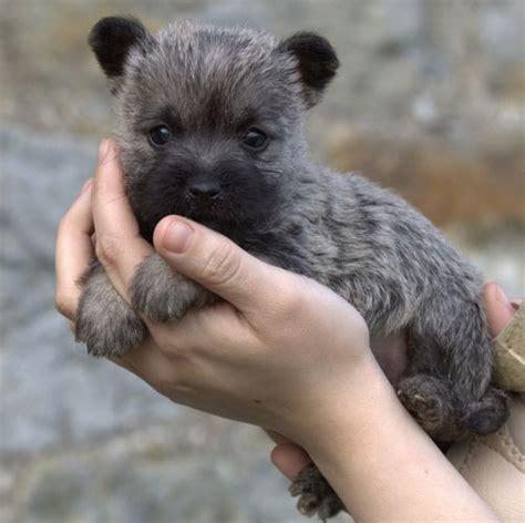 brindle cairn haircut best 25 cairn terrier puppies ideas on pinterest