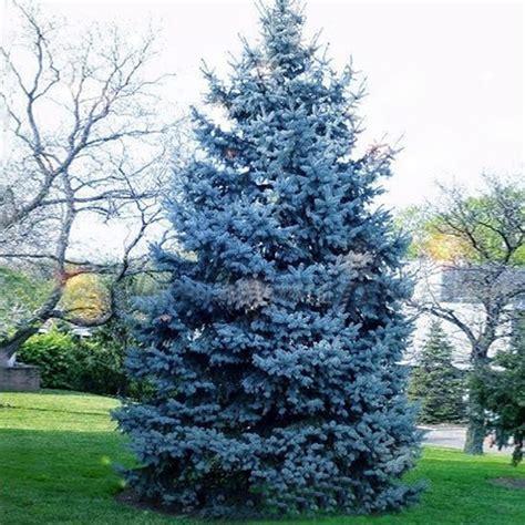 abeti nani da giardino 30pcs colorado blue spruce tree seeds picea pungens fir