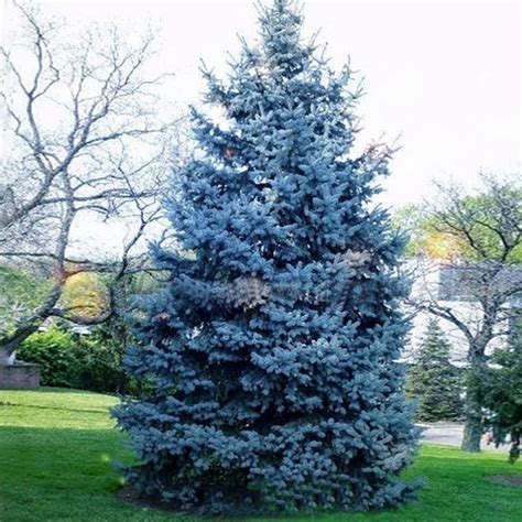 30pcs colorado blue spruce tree seeds picea pungens fir plant us 1 89 sold out