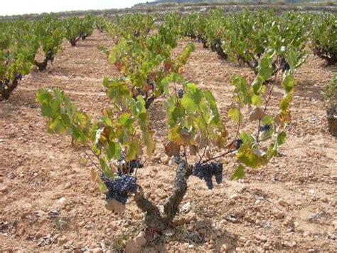 potare uva da tavola potatura della vite potatura come potare la vite