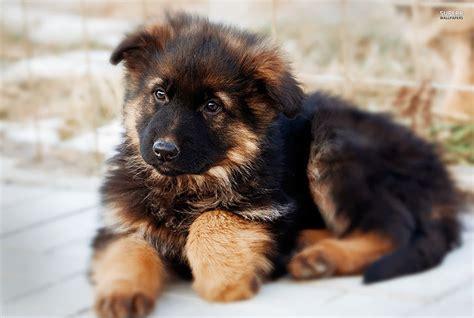 elenco cani da appartamento elenco cani da appartamento immagini ispirazione sul