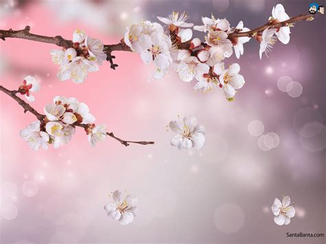 Cherry Blossom Goodness by Cherry Blossoms Wallpaper 4