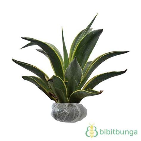 Tanaman Hias Variegata tanaman yucca gloriosa variegata bibitbunga