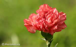 Carnation Flowers Carnation Flower Picture