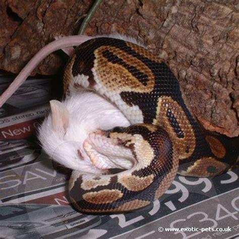 royal python feeding royal python or ball python