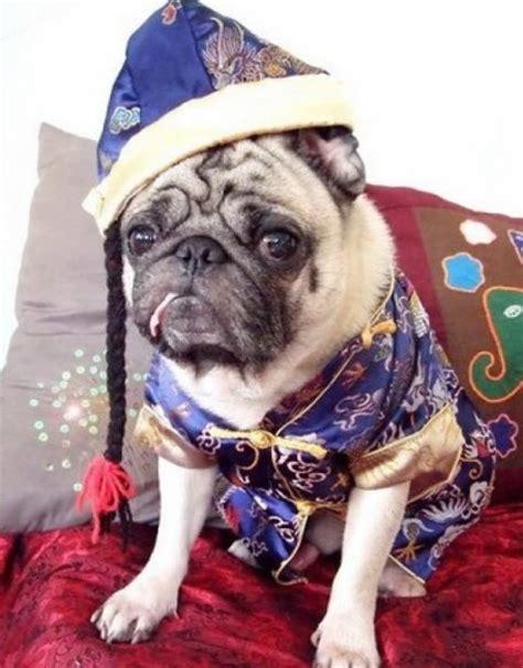 new years pug new year s day pug in blue фото и обои красивое
