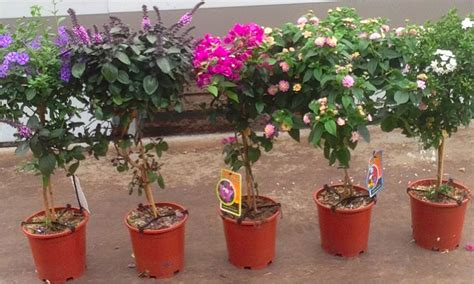 Gardenia Growing Conditions Three Looking Patio Trees Groupon Goods