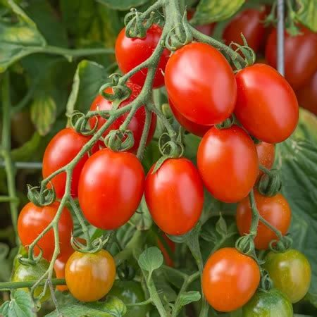 Buy Tomato Montello F1 Hybrid Seeds Online Marshalls Seeds Garden Ready Vegetable Plants
