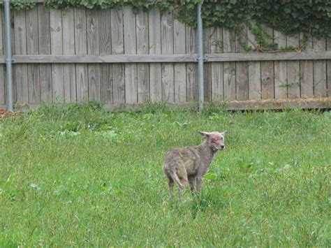coyote in my backyard coyote sighting leads to police search in wheaton