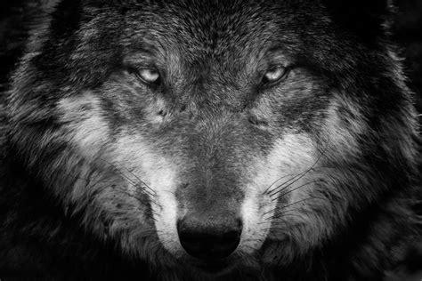 imagenes de negro lobo loup 4k ultra hd fond d 233 cran and arri 232 re plan 4404x2936