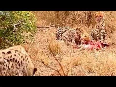 cheetah  hyena  short fight youtube