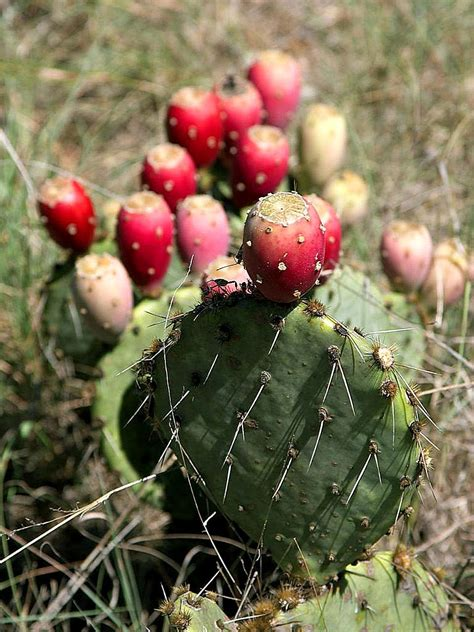 the cactus pear your new superfood food jams