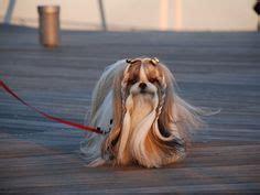 shih tzu braids shih tzu hairstyles clothes on shih tzu haircuts and dogs