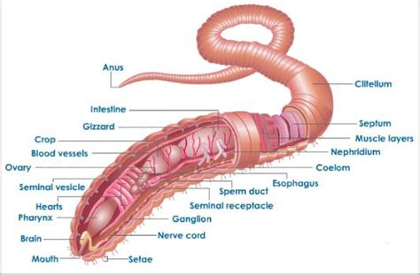 excretion and osmoregulation in earthworm tutorvista