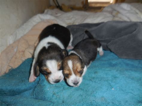 beagle puppies available available pocket beagle puppies for sale pocket beagles mini beagle puppies