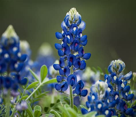 state flower of texas texas bluebells auntie dogma s garden spot