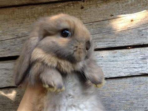 coniglio nano testa di prezzo casetta conigli clasf