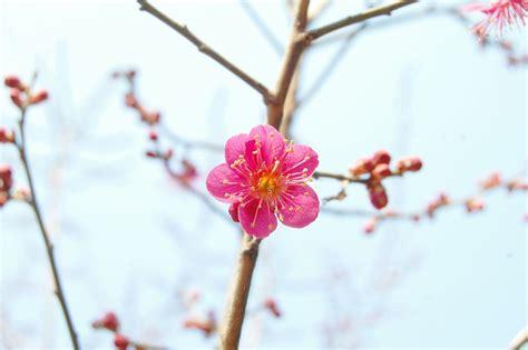 wallpaper bunga plum 무료 사진 홍매화 매화 봄꽃 봄 분홍꽃 4월 한국 벚꽃 pixabay의 무료 이미지