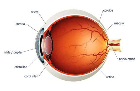 occhio interno gli strati e i tessuti rivestono l occhio