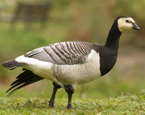 barnacle geese | purely poultry