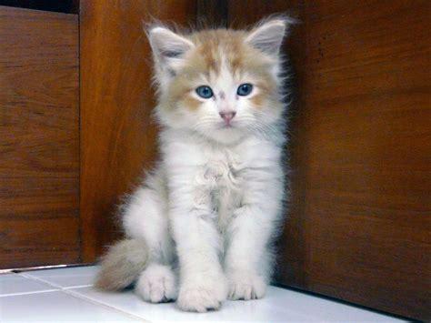 Sho Kucing Dan Harga gambar kucing anggora dan harga nya gambar c