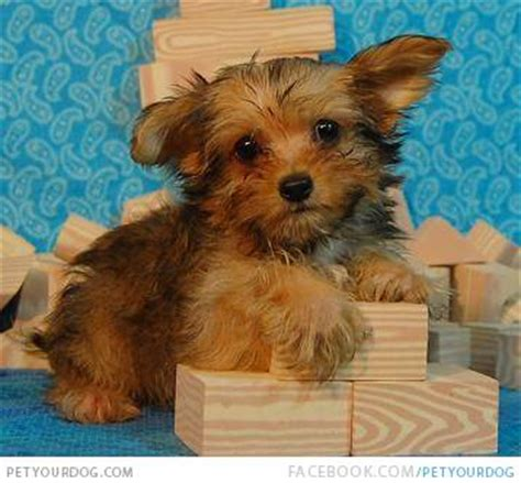 light brown puppy yorkillon pictures wacky or pictures and